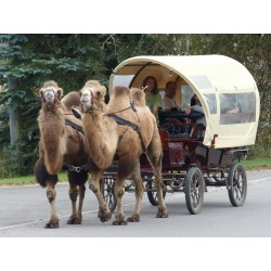 Kamelkutschfahrt 1 Stunde